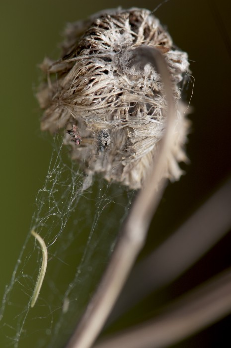 meshweaver in her web on a dead seedhead of a plant