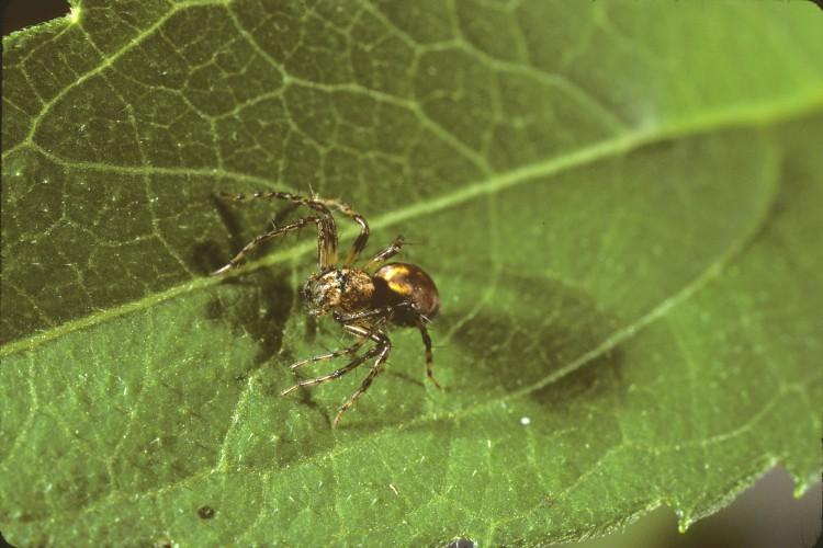 western lynx spider (Oxyopes scalaris) subadult female