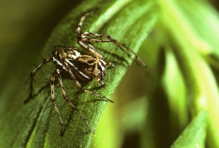 western lynx spider (Oxyopes scalaris) female