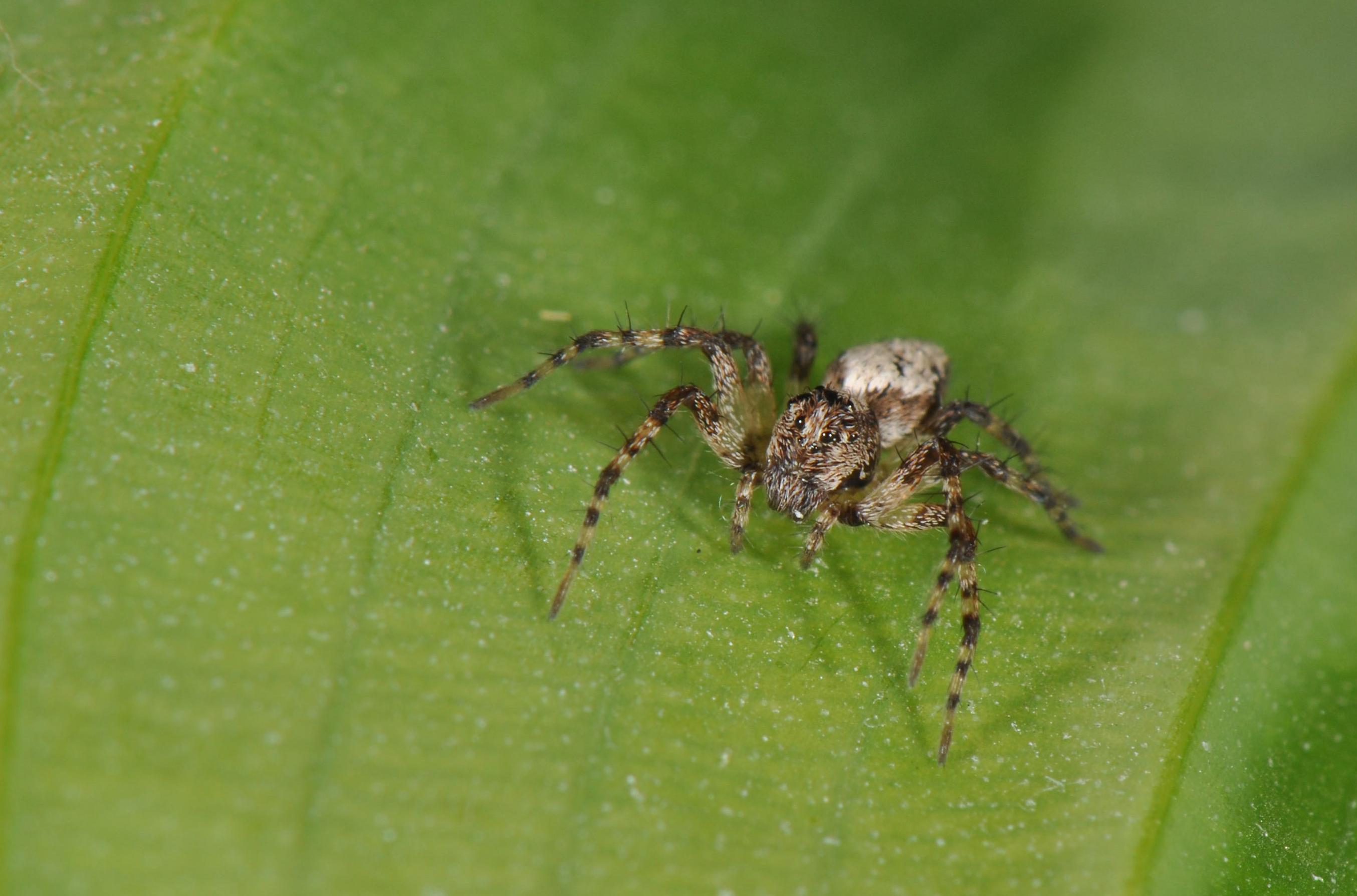 lynx spiders family oxyopidae spidersrule