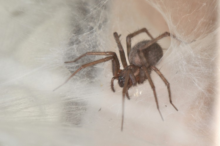 Barn Funnel Weaver (Tegenaria domestica) female