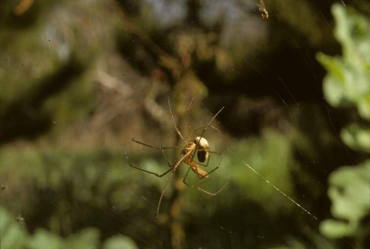 pair of long-jawed spiders mating