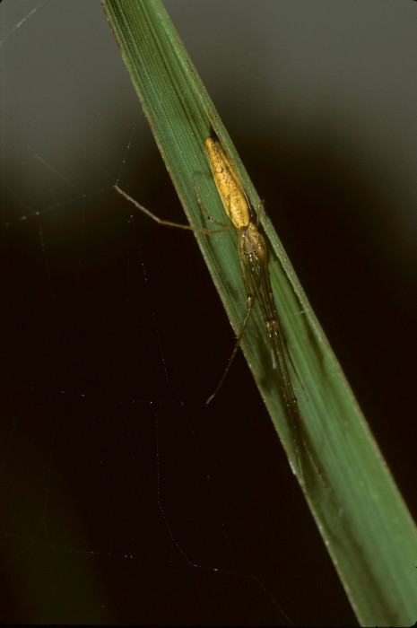 Tetragnatha laboriosa female