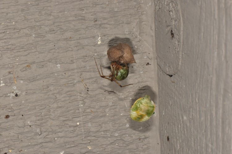 common house spider with remains of green stink bug prey