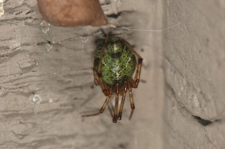 common house spider with green abdomen after eating green stink bug