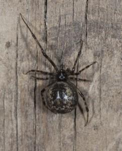 common house spider (Parasteatoda tepidariorum) dark female