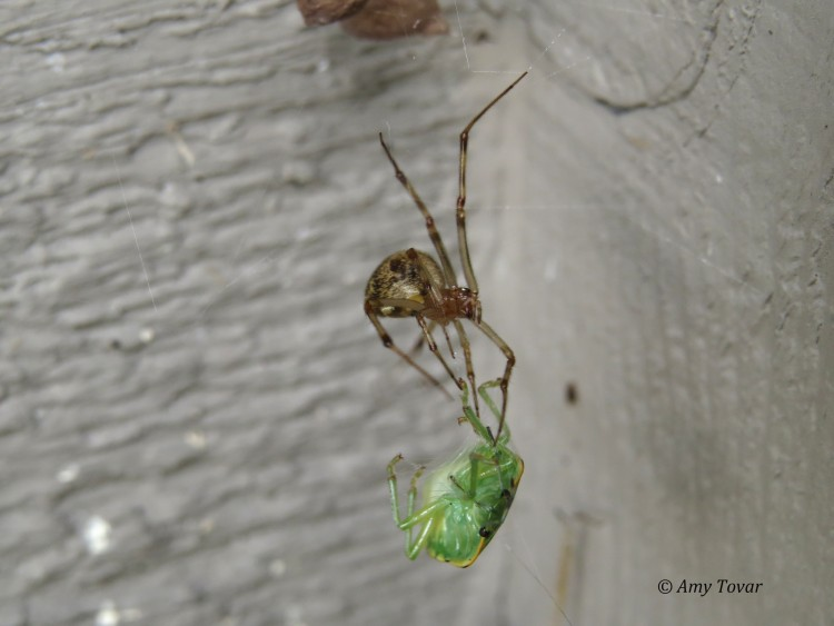 common house spider capturing green stink bug