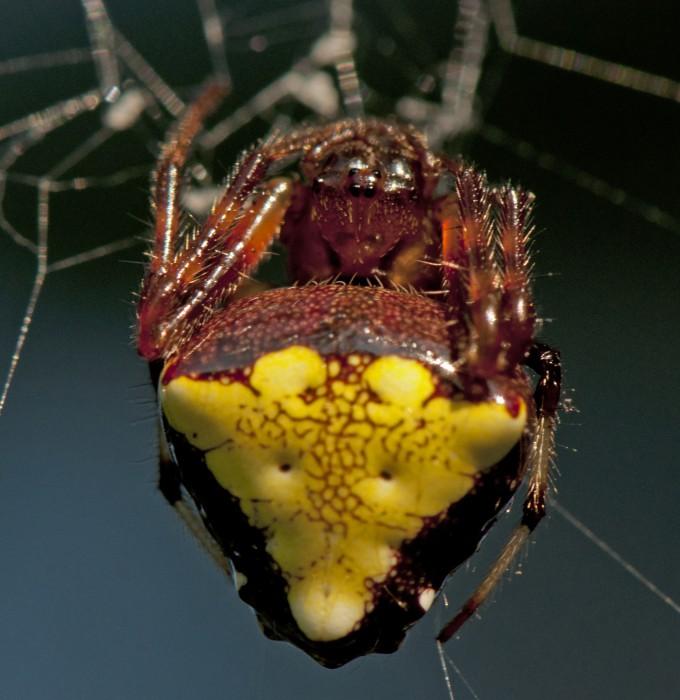 triangulate orbweaver (Verrucosa arenata) red&yellow color form