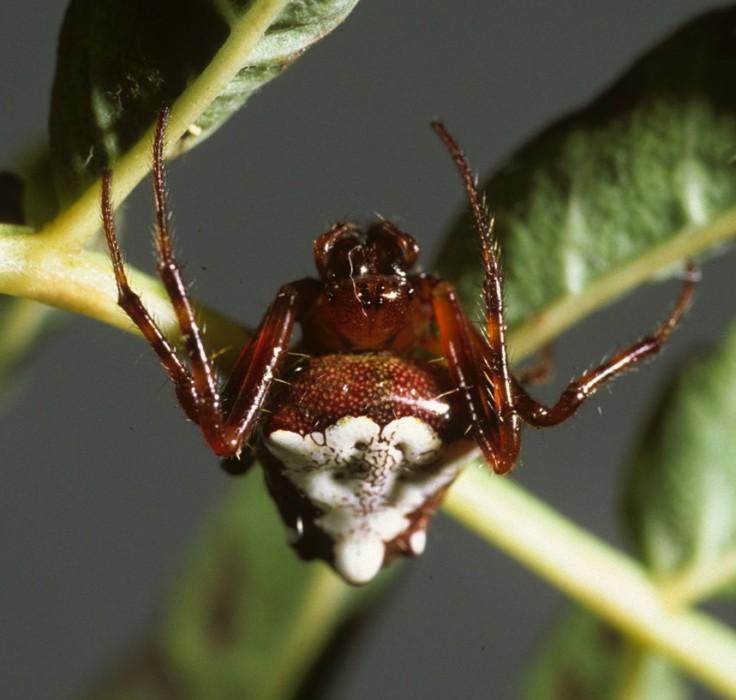 triangulate orbweaver (Verrucosa arenata) red&white color form