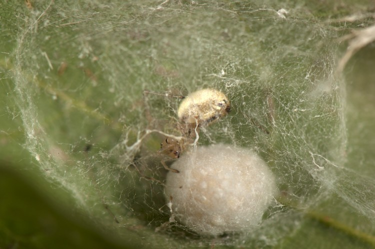 Enoplognatha ovata with her egg case