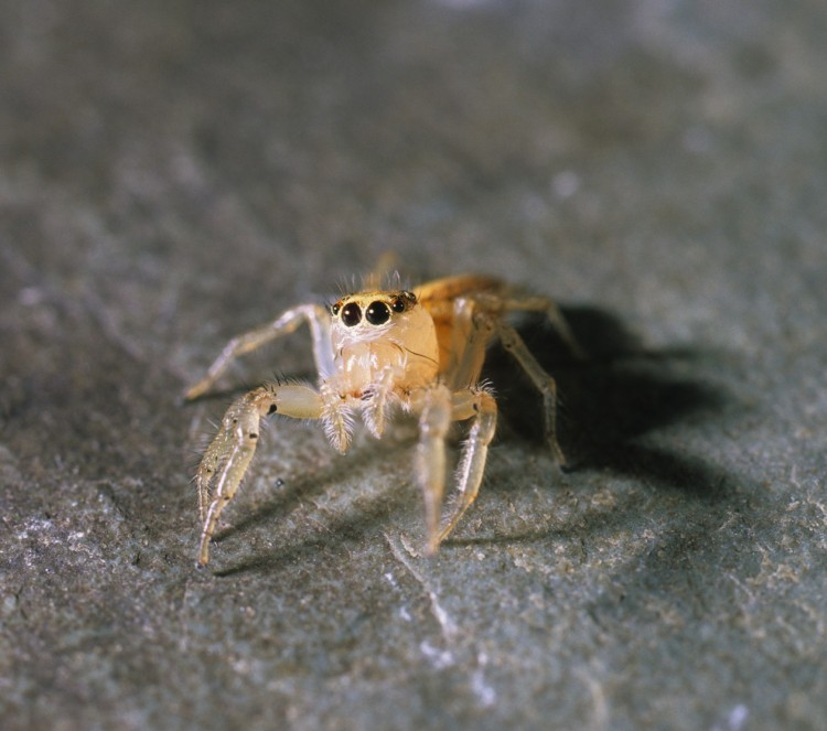 jumping spider (Colonus sylvanus) female