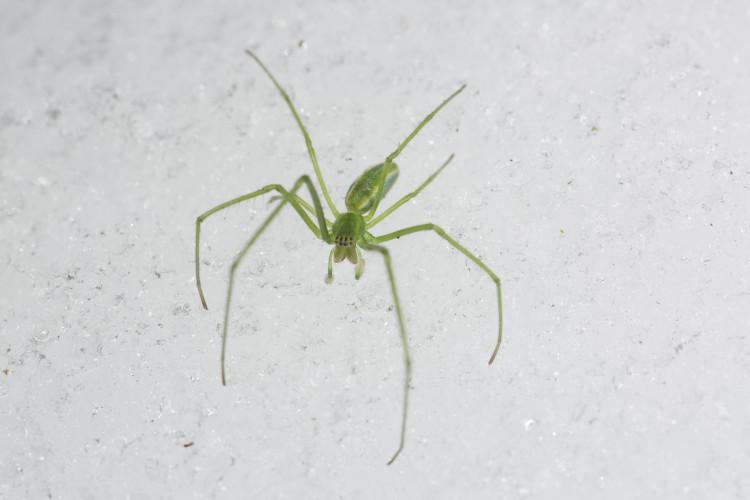 Tetragnatha viridis subadult male