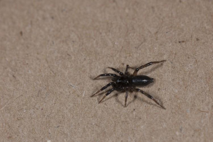 Drassyllus sp? subadult male