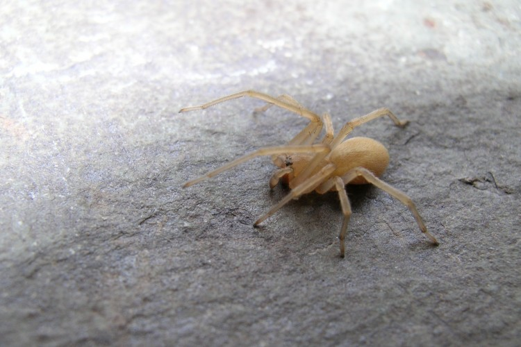 Cheiracanthium mildei subadult male