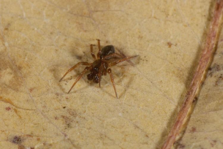 Centromerus denticulatus male