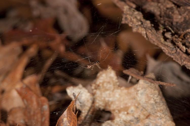 Neriene variabilis subadult male