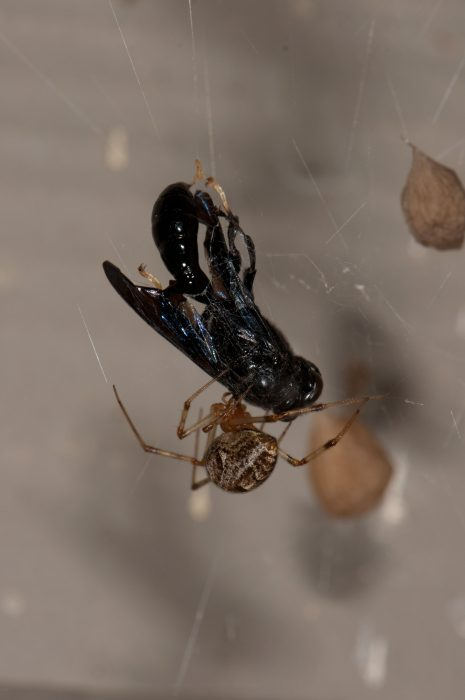 Common house spider with male Trypoxylon wasp prey