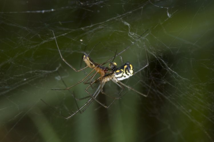 pair of filmy dome spiders mating, note the expanded hematodocha of the male