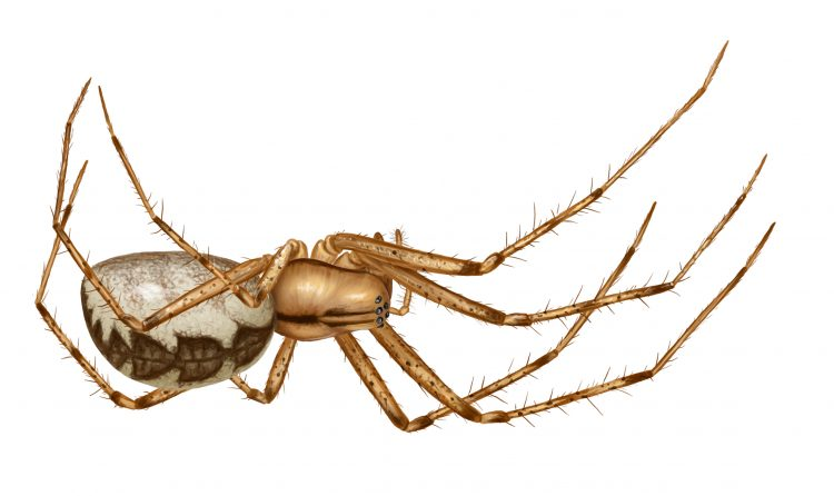 female hammock spider (Pityohyphantes costatus) illustration by Steve Buchanan