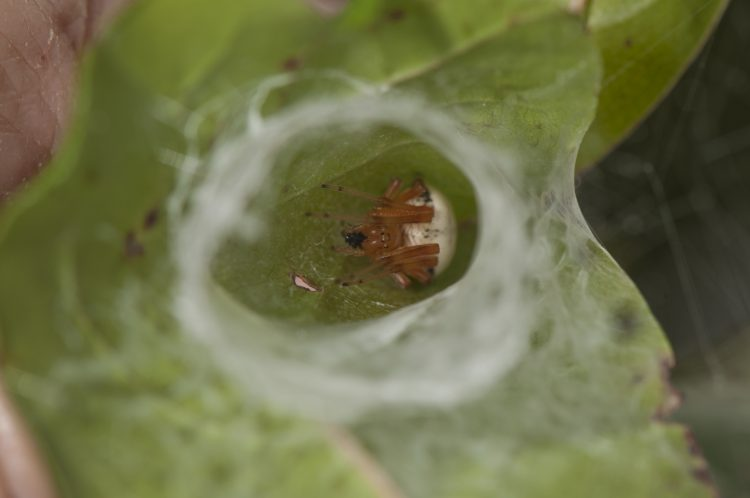 female lattice orbweaver (Araneus thaddeus) finishing a meal in her retreat