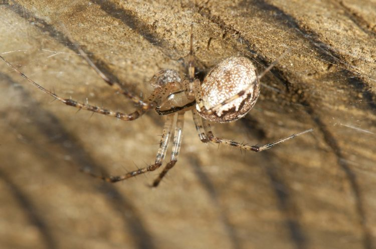 hammock spider (Pityohyphantes costatus) female eating a prey item in a retreat under a culvert at the edge of her web