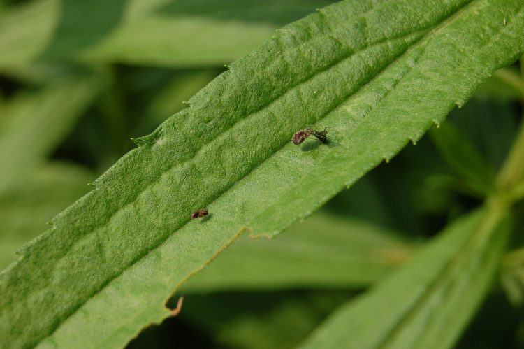 photo of pair of meshweavers on leaf