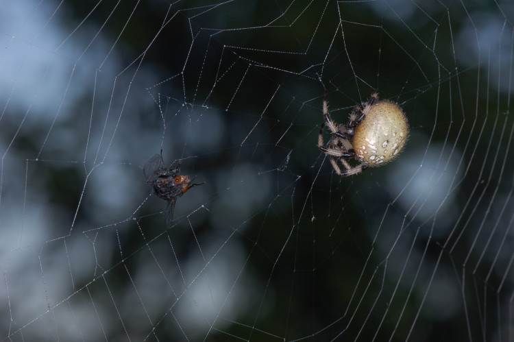 photo of shamrock orbweaver