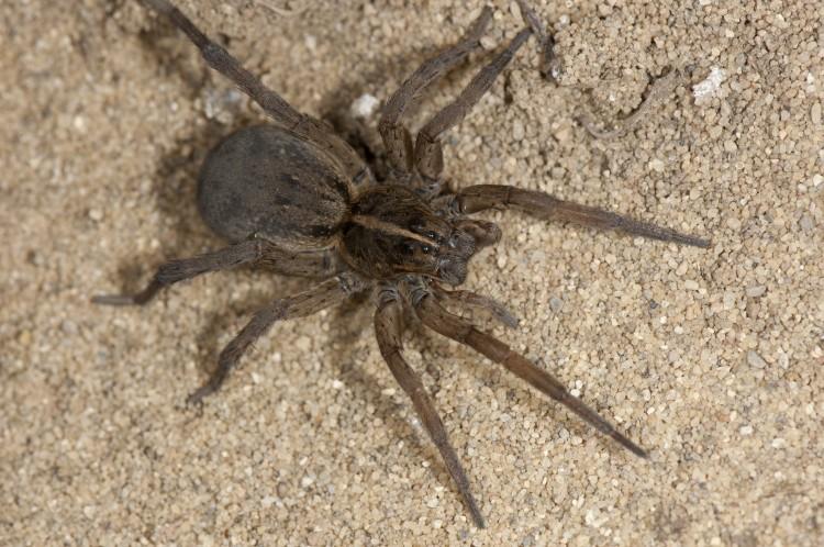 photo of female field wolf spider