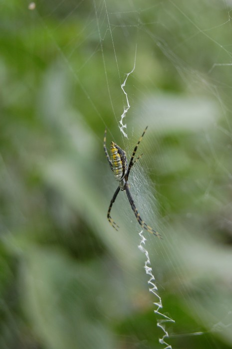 photo of garden spider in her web with a stabilimentum