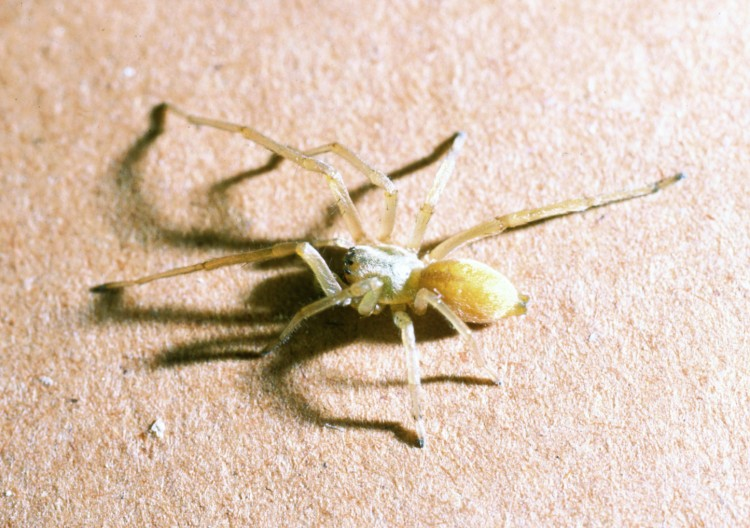 photo of yellow sac spider