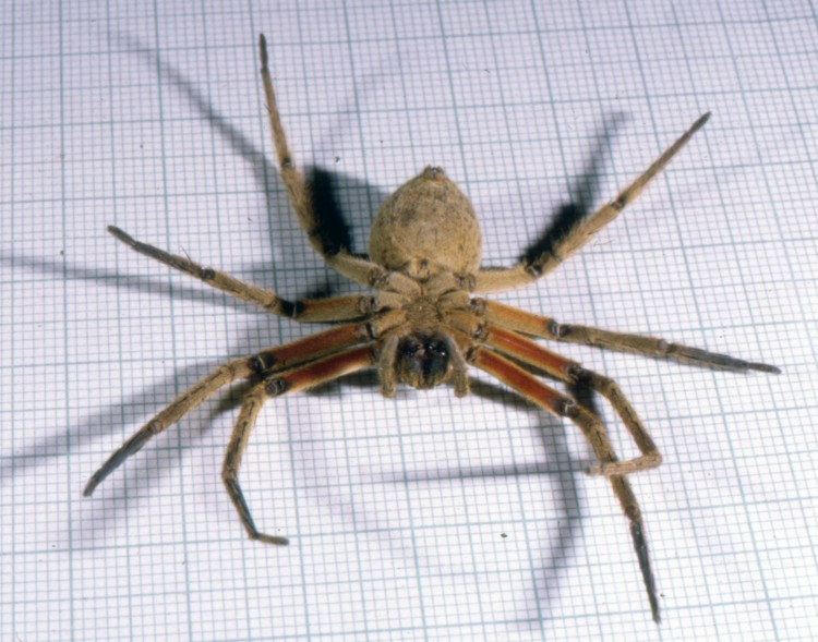 photo of underside of wandering spider