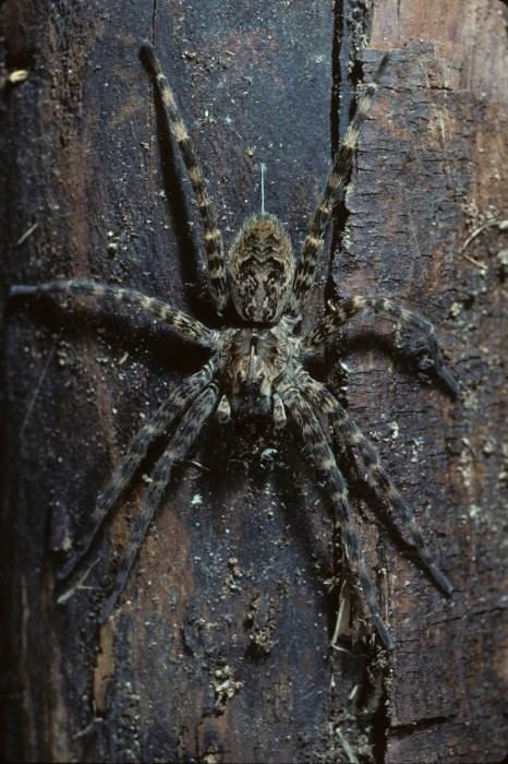 Dolomedes tenebrosus hangs on tree trunk