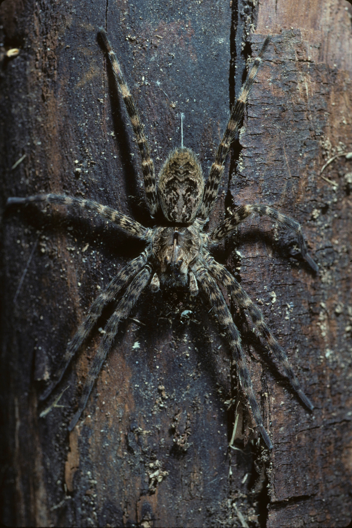 Nursery Web Or Fishing Spiders Family Pisauridae Spidersrule