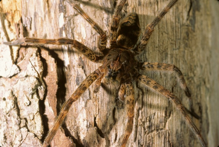 photo of Dolomedes tenebrosus