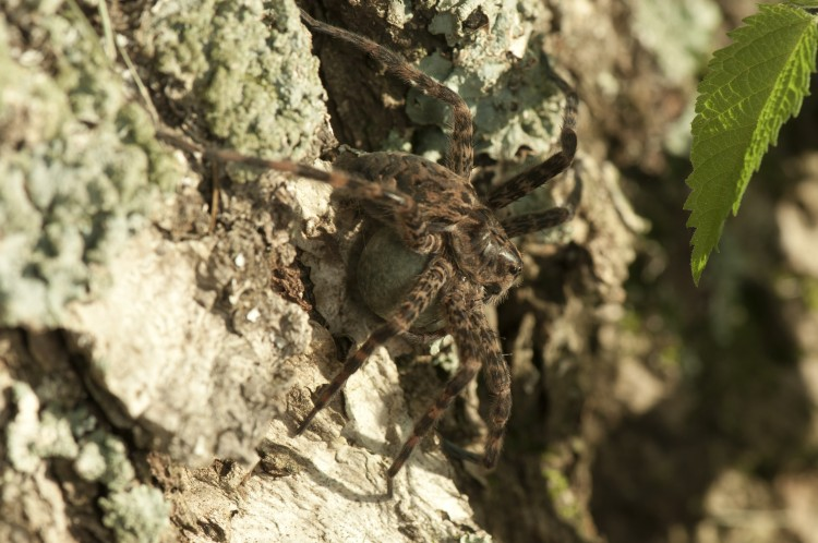 photo of Dolomedes tenebrosus with egg case