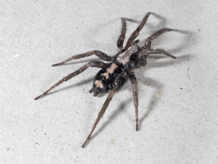 photo of parson spider