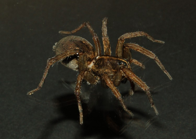 photo of field wolf spider