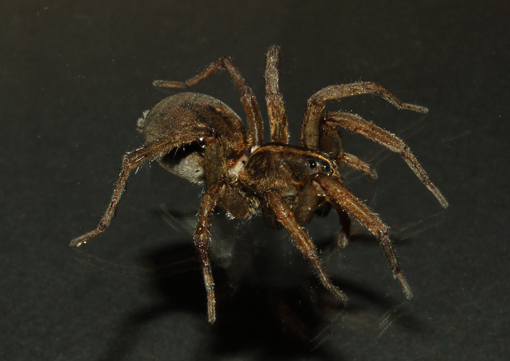 big and scary spiders | spidersrule