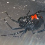 photo of northern black widow with hourglass of two spots that are nearly touching