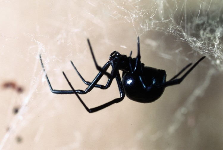 photo of northern black widow, viewed from the side