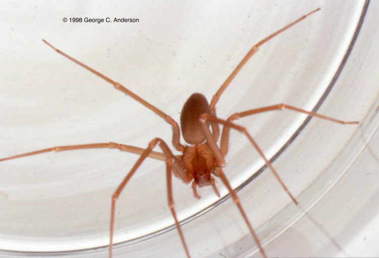 photo of Mediterranean recluse