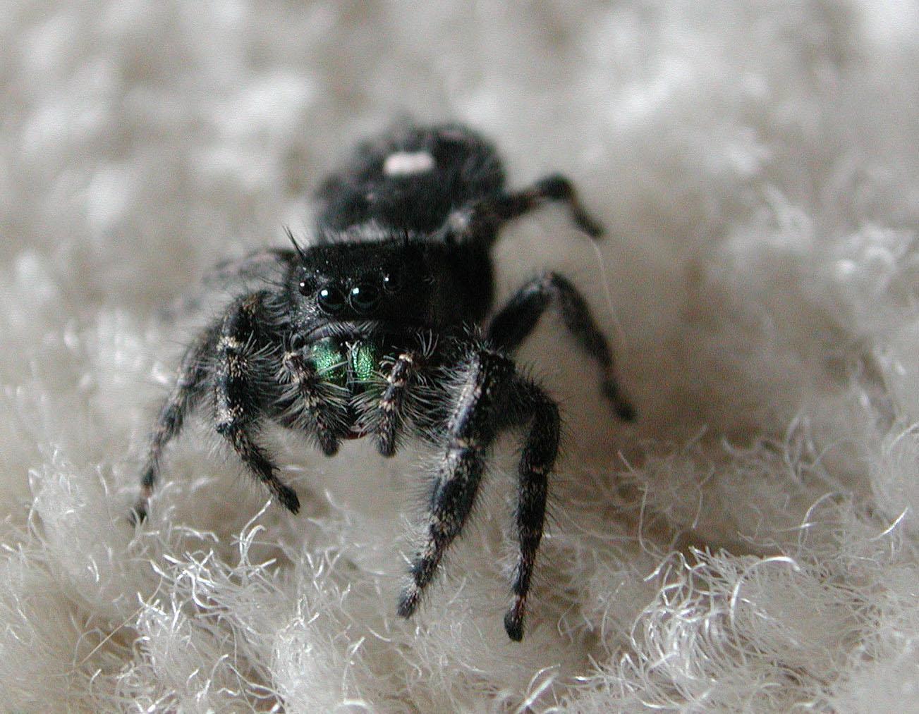Ohio's biting spiders   spidersrule
