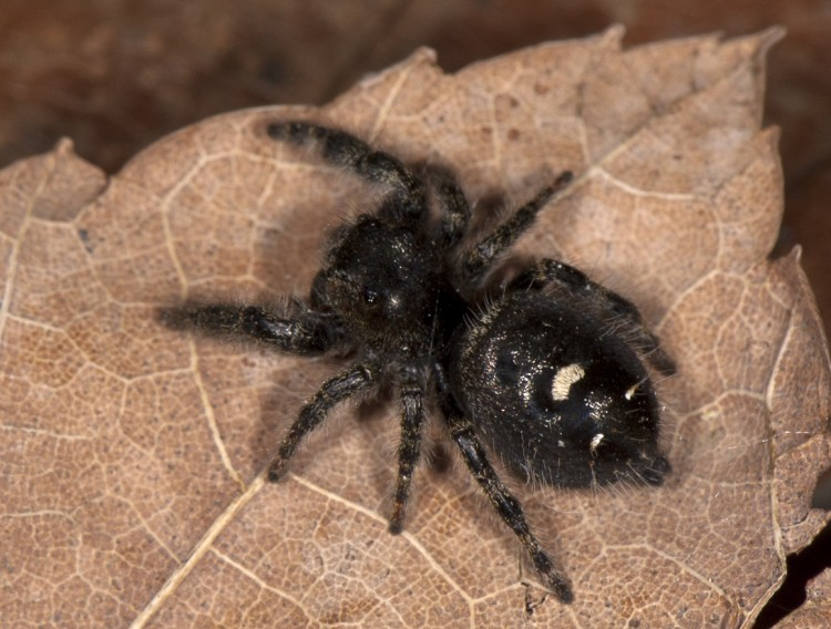 photo of adult female bold jumper with white spot