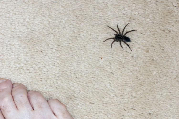 photo of a female field wolf spider on carpet next to foot