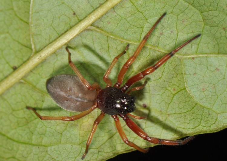 photo of female bullheaded sac spider