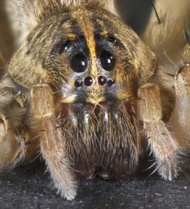 photo of wolf spider's face