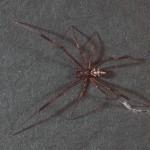 photo of male black widow