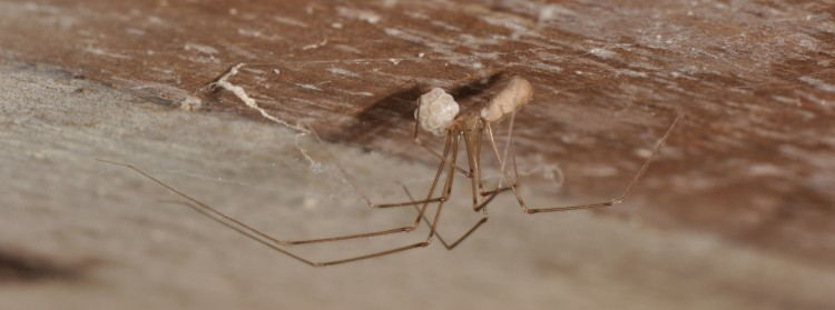 Pholcus phalangioides female with egg case