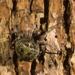 Araneus bicentenarius female