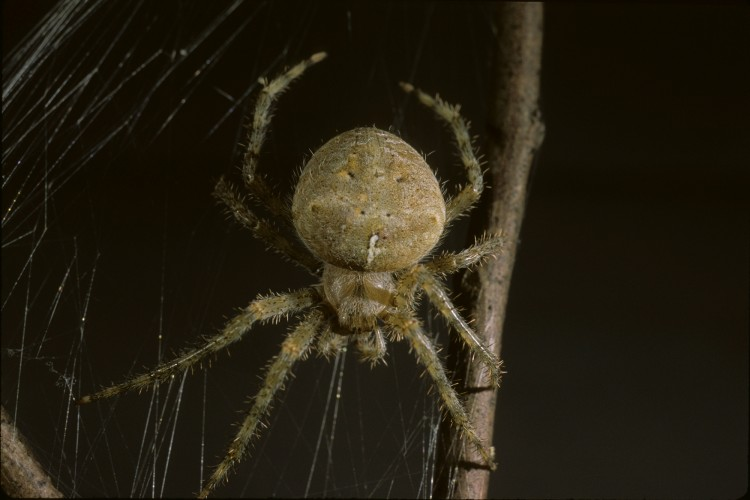 Araneus cavaticus female (captive)